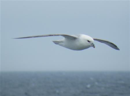Noordse stormvogel 20.6.12 3240 Foto Koos Dijksterhuis (Custom)