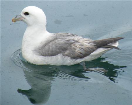 Noordse stormvogel 8928 Foto Koos Dijksterhuis (Custom)