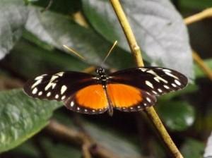 Vlinder Heliconius hecalesia. Foto Koos Dijksterhuis