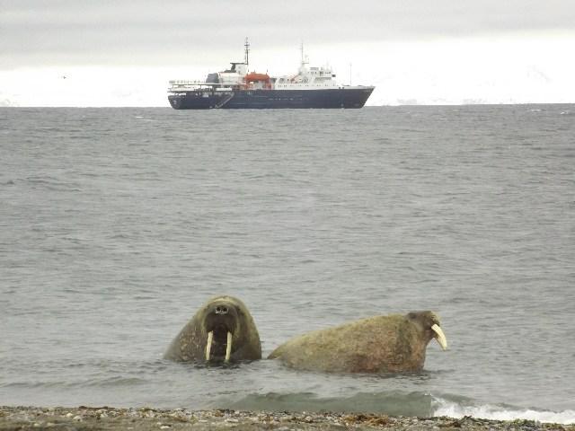 Walrussen, Foto Koos Dijksterhuis