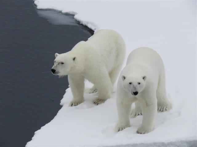 IJsberen, Foto Koos Dijksterhuis