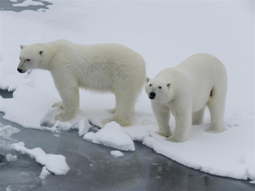 De ijsberen komen naar ons toe. Foto Koos Dijksterhuis
