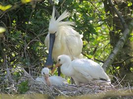 Lepelaar op nest. Foto Koos Dijksterhuis