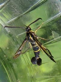 Bessenglasvlinder.  Foto Koos Dijksterhuis