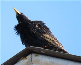 Spreeuw op het dak. Foto Koos Dijksterhuis