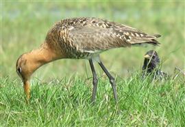 Spreeuw weidevogel 1562a