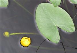 Gele plomp. Foto Koos Dijksterhuis