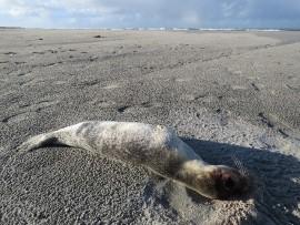 Dood zeehondje. Foto Koos Dijksterhuis