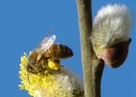 Honingbij op wilgenkatjes. Foto Koos Dijksterhuis