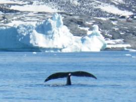 Groenlandse walvis Foto Koos Dijksterhuis