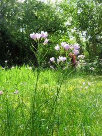 Pinksterbloemen in de tuin. Foto Koos Dijksterhuis