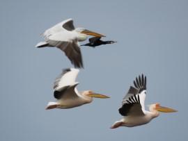 Roze pelikanen. Foto Koos Dijksterhuis