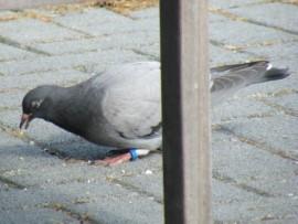 Postduif. Foto Koos Dijksterhuis