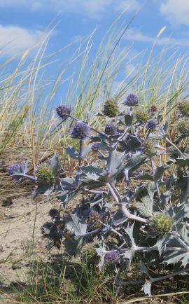 Blauwe zeedistel. Foto Koos Dijksterhuis