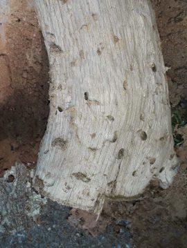 Eikenhout met kevergaten Foto Koos Dijksterhuis