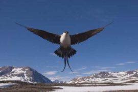 Kleinste jager. Foto Jeroen Reneerkens